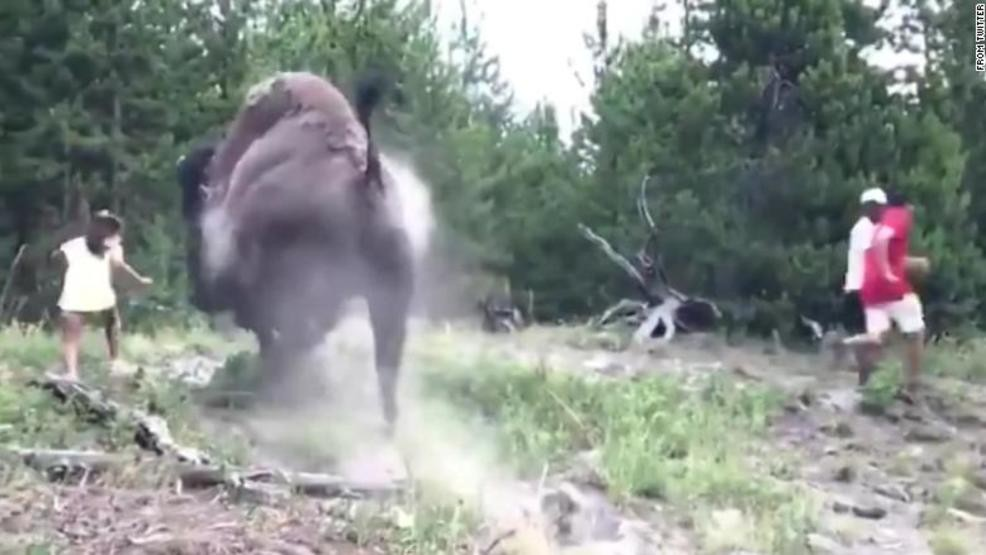 Bison Charges And Injures 9 Year Old Girl In Yellowstone
