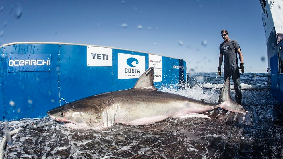 Hilton A 1 326 Pound Shark Hanging Around The Outer Banks Coast Wset