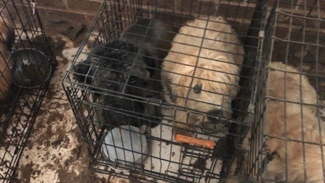 80 terriers seized after deputies search alleged puppy mill