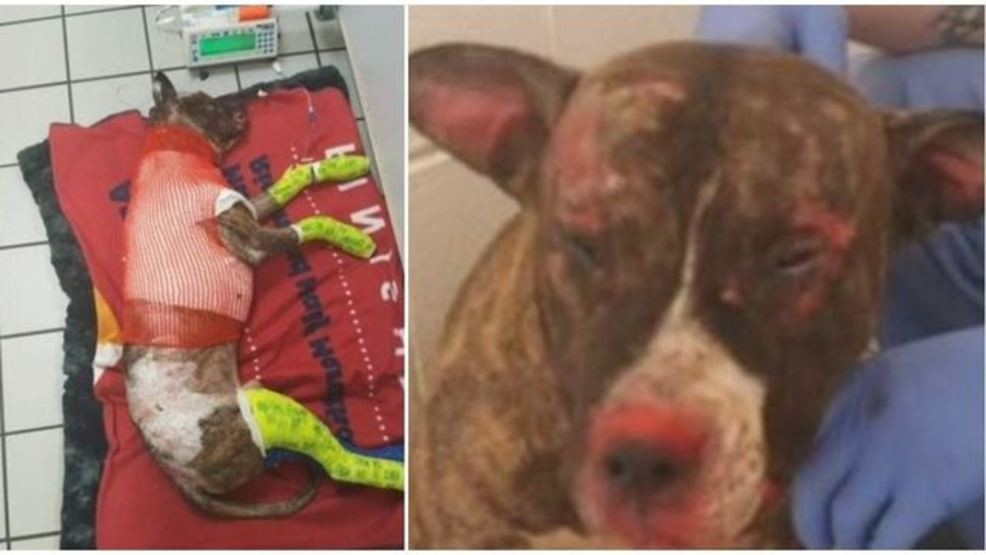 Pit Bull Fighting For Life After Being