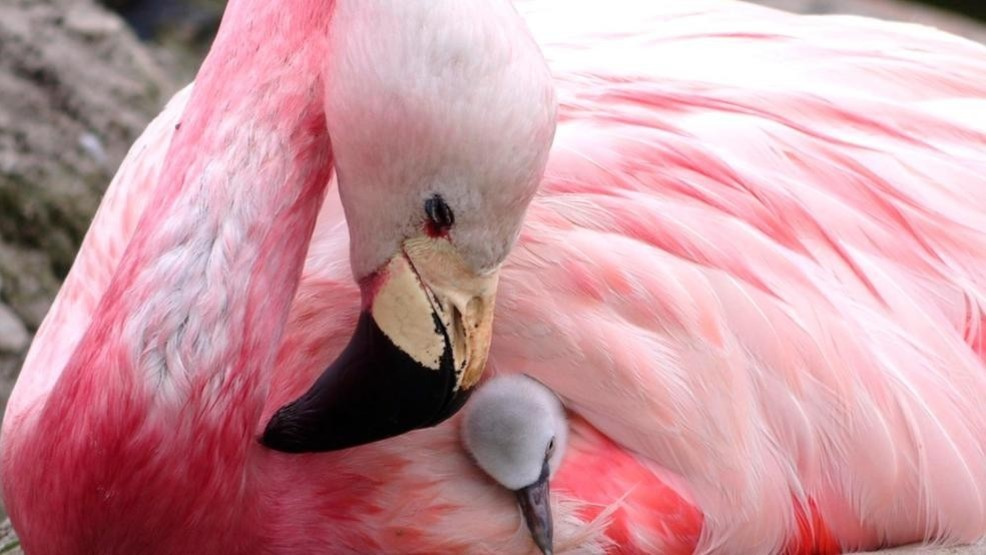 Outlet-Store reduzierter Preis diversifiziert in der Verpackung Zoo euthanizes flamingo hit by rock thrown by child   WSET