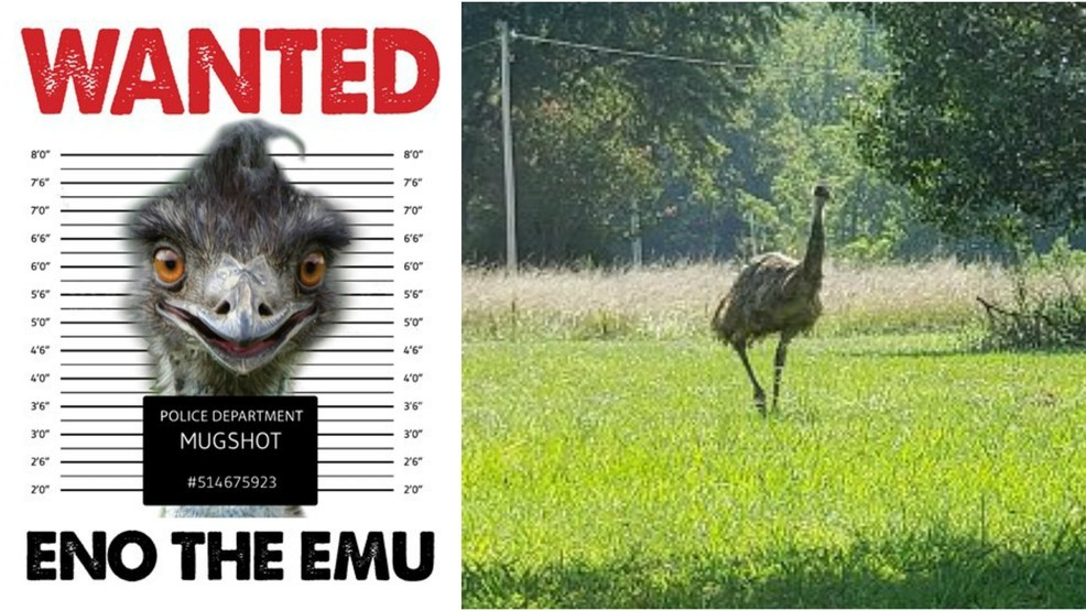 Emu on the loose in NC last spotted jumping on hood of car