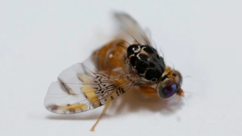Local Pest Control Recommends Home Remedy To Get Rid Of Fruit Flies